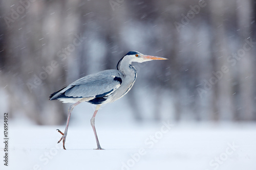 Photo Grey Heron in white snow wind during cold winter