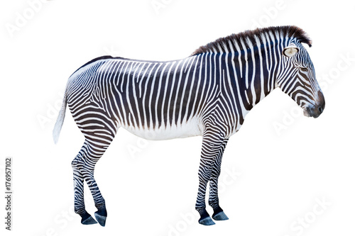In de dag Zebra Profile photo of a zebra isolated on white background