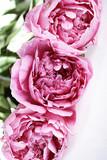 flor peonia aislada