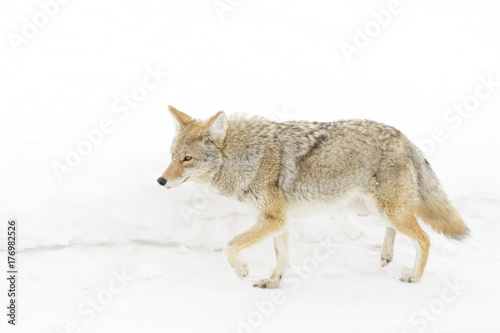Foto op Plexiglas Arctica Coyote (Canis latrans) in the snow, Yellowstone National Park, Montana, Wyoming, USA.