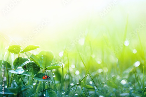 Beautiful nature background with morning fresh grass and ladybug. Grass and clover leaves in droplets of dew outdoors in summer in spring close-up macro. Template for design.