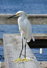 Snowy Egret, St. Augustine, Florida