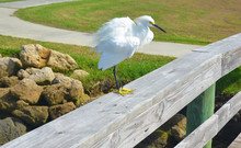Ruffled Feathers, Snowy Egret,...