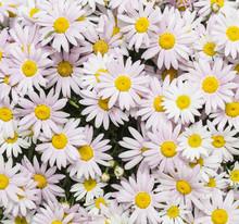 Plenty Of Fresh Daisy Flowers ...