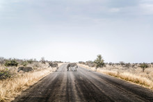 Zebras Are Crossing The Road I...