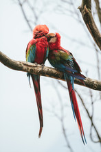 Two Macaw Parrots Sitting On A Branch