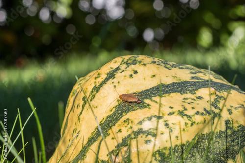Bernsteinschabe - Ectobius Vittiventris mit Eikapsel am Hinterleib auf einem Kürbis im Garten