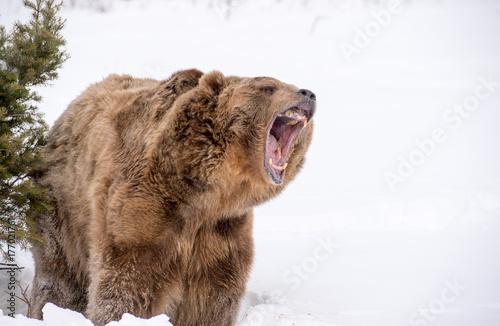 bear roaring Fototapet