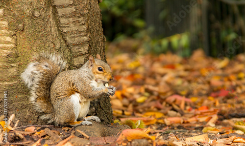 Aluminium Prints Autumn A grey squirrel sits at the base of a tree eating a nut in an autumn fall scene in Greenwich Park, London, United Kingdom