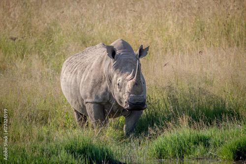 In de dag Neushoorn White rhino bull standing in the grass by the water.