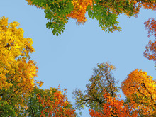 Golden Treetops In Autumn, Col...