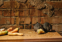 Rats Eating Vegetables With Brick Background