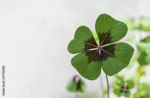 Vierblättriges Kleeblatt, Hintergrund weiß