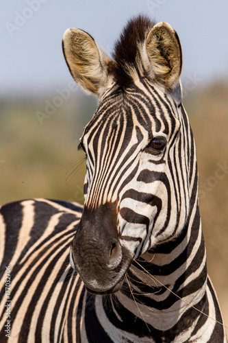 Poster Zebra Zebra in Kruger national park