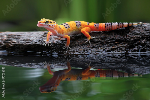 Leopard gecko in reflection