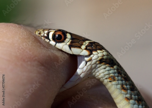Young Green Whip Snake from Italy (Hierophius viridiflavus) biting a human finger