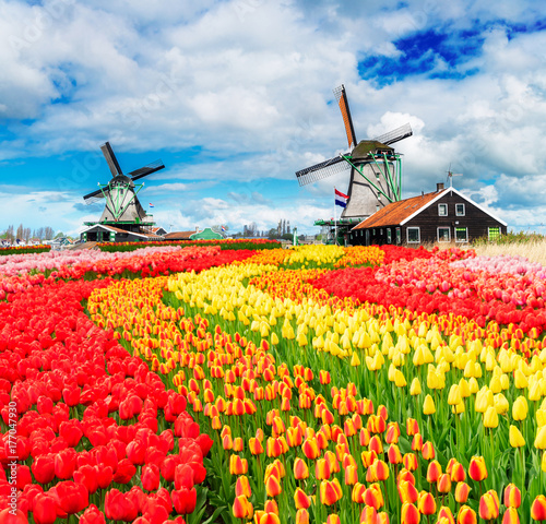 Poster Amsterdam two traditional Dutch windmills of Zaanse Schans and rows of fresh tulips, Netherlands