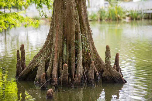 Fotografie, Tablou Cypress tree roots