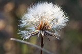 Dandelion seeds with natural background - 177051518