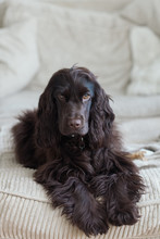 Brown English Cocker Spaniel D...