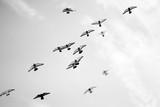 Czarno-białe zdjęcie gołębi rosnących na niebie - 177056708