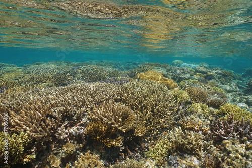 Obraz na dibondzie (fotoboard) Podwodne seascape zdrowej rafy koralowej w płytkiej wodzie, na południowym Pacyfiku, laguny wyspy Grand Terre w Nowej Kaledonii, Oceanii
