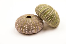Green Sea Urchin With Details