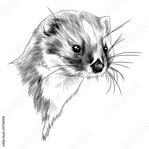 Photo  weasel sketch head vector graphics monochrome black-and-white drawing