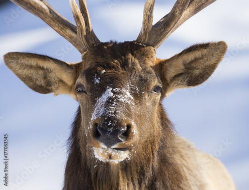 Aluminium Prints Deer Wapiti portrait in winter