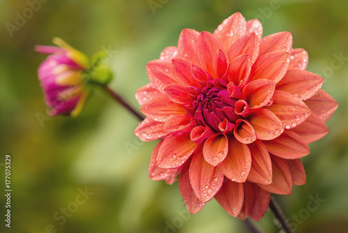 Dahlia flower with water drops on petals after rain