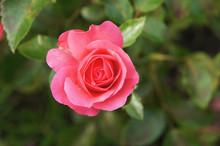 Pink Tea Hybrid Rose Flower He...