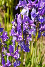 Siberian Iris Blue Or Purple Flowers In Sunlight