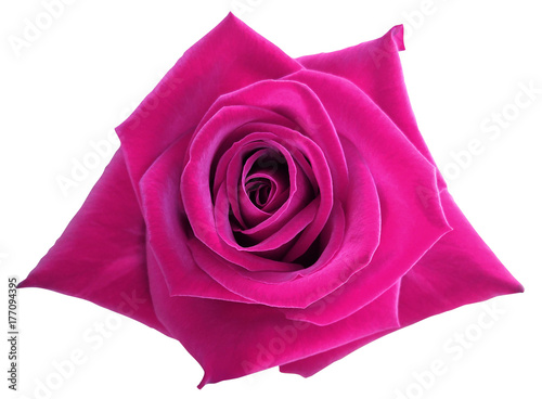 Spoed Foto op Canvas Roze Pink rose flower on white isolated background with clipping path. no shadows. Closeup. Nature.