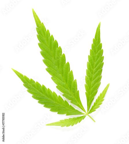 Obraz na płótnie Liść liści konopi na białym. Świeży zielony konopny liść Cannabis ruderalis, niski THC gatunek używać jako herbata w tradycyjnej ludowej medycynie i. Makro- karmowy fotografii zakończenie up od above na białym tle.