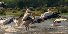 A Group Of Pelicans Frightened...
