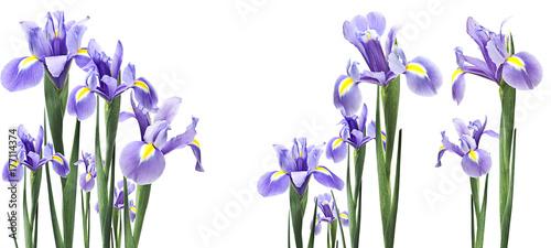 Poster Iris flores iris aisladas en horizontal