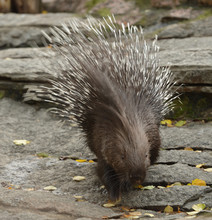 Cute Indian Crested Porcupine ...