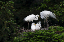 Great Egret, Common Egret, Large Egret, Baby Egret,Great White Heron - Ardea Alba