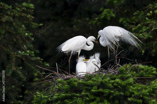 Photo Great Egret, Common Egret, Large Egret, baby Egret,Great White Heron - Ardea alb
