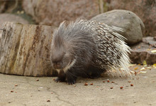 Indian Crested Porcupine (Hyst...