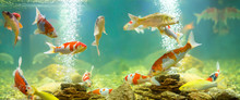 Carp In The Aquarium