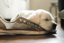 Tired White Puppy Sleeping On ...