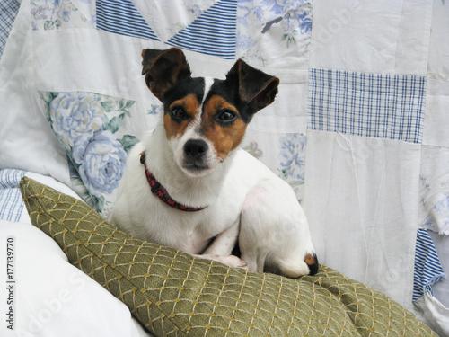 Fototapeta Jack Russell Terrier dog. Small cute dog with large gremlin like ears lying on a cushion in a domestic setting. obraz na płótnie