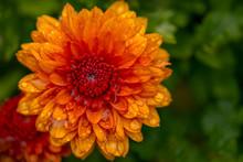 Close-up Of Orange Chrysanthem...