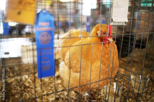 Blue Ribbon Winning Gold Comet Hen Chicken Shown at County Fair Wallpaper Mural