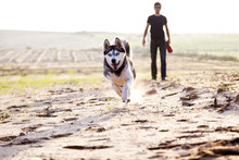 Siberian Husky Running In Field