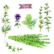 Thyme plant, twigs, flowers and bunch watercolor illustration with clipping paths