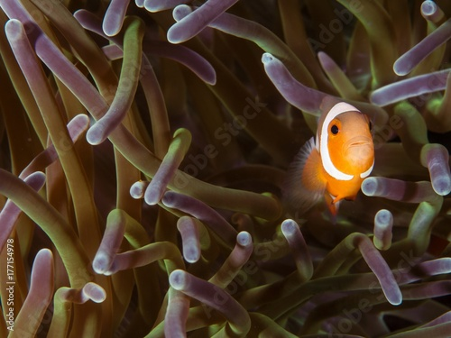 Plakat banded anemone fish