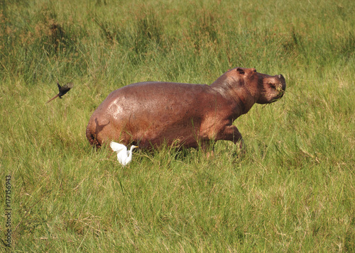 Poster Chasse Hippo on land running