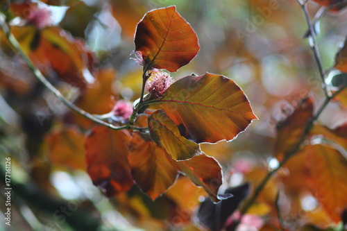 Copper beach  (Fagus sylvatica Purpurea) leaves on branches foliage. Spring nature background in red purple coloures.